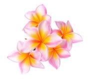 Tropical flowers frangipani (plumeria) isolated on white background. Stock Photos