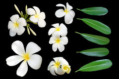 Tropical flowers frangipani (plumeria) and leaf isolated on black background Royalty Free Stock Photography