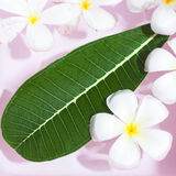 Tropical flowers frangipani (plumeria)and leaf,  sofe focus  ima. Ge  on pink  background Royalty Free Stock Image