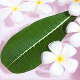 Tropical flowers frangipani (plumeria)and leaf,  sofe focus  ima Royalty Free Stock Image