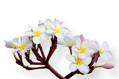 Tropical flowers frangipani (plumeria) on white backgro Stock Image