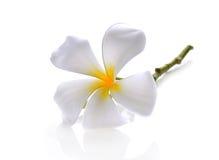 Tropical flowers frangipani (plumeria) on white backgro Royalty Free Stock Photography