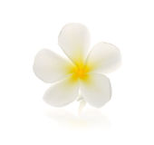 Tropical flowers frangipani (plumeria) Royalty Free Stock Image