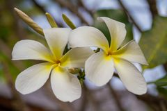 Tropical flowers, frangipani or prumelia couple for romantic flowers and honeymoon flowers Stock Photo