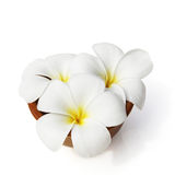 Tropical flowers frangipani on white Stock Photos