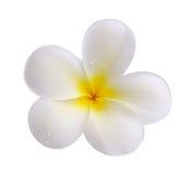 Tropical flowers frangipani on white backgro Stock Photo