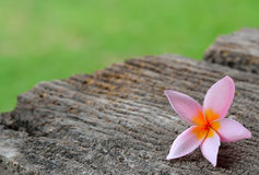 Tropical flowers frangipani on wood Royalty Free Stock Photo