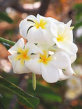 Tropical flowers. Group of West Indian Jasmine flowers Stock Photos