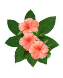 Tropical flowers hibiscus. Tropical peach colored hibiscus flowers and large leaves for clip art or logo design on white background Stock Photo