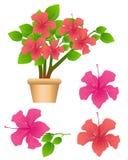 Tropical flowers Hibiscus Stock Photos