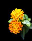 Tropical flowers Lantana isolated Stock Image