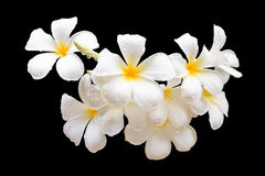 Tropical flowers, Plumeria isolated on black. Saved with clippin Stock Image