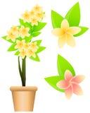 Tropical flowers plumeria Stock Image