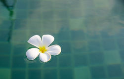 Tropical flowers of Plumeria in swimming pool. Stock Image