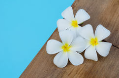 Tropical flowers plumeria on swimming pool Stock Photos