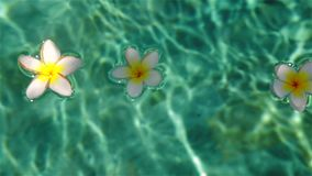 Tropical flowers in the water. Tropical flowers frangipani (plumeria) floating in the water. The spa pool. Bali. Indonesia.Peace and tranquility stock footage