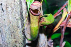 Tropical flytrap pitcher plant,nepenthes species Stock Image