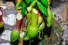 Tropical flytrap pitcher plant,nepenthes species Stock Photo