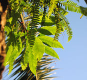 Tropical Foliage. A variety of bright green tropical foliage, including ferns, vines and palm branches against a blue sky stock image