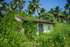 Tropical foliage lush with palm trees and a shack buried in wild plants Stock Images