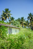 Tropical foliage lush with palm trees and a shack buried in wild plants Royalty Free Stock Photography