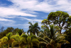 Tropical forest. Vibrant colorful image of tropical forest under a deep blue sky with white wispy clouds Stock Photos