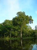 Tropical forest on the Amazon river. Forest on the Amazon river, with tree mirrored in water royalty free stock photo