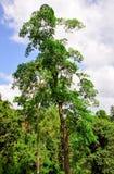 Tropical Forest of Kakum National Park, Ghana Stock Photography