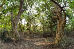 Tropical forest Keoladeo National Park. Mighty trunks of old trees in the tropical rain forest Keoladeo National Park Stock Photography