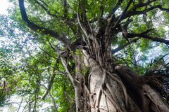 Tropical Forest Large Tree Roots Royalty Free Stock Photo