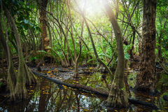 Tropical forest with mangrove trees and lens flare Stock Photos