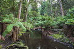 Tropical forest in Mount Field National Park, Tasmania. Australi Royalty Free Stock Image
