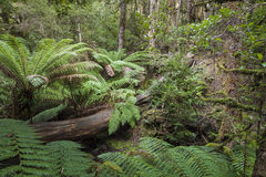 Tropical forest in Mount Field National Park, Tasmania. Australi Stock Images