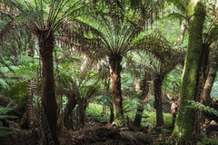 Tropical forest in Mount Field National Park, Tasmania. Australi Stock Image