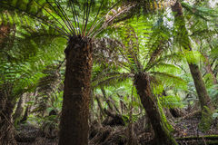 Tropical forest in Mount Field National Park, Tasmania. Australi Royalty Free Stock Photos