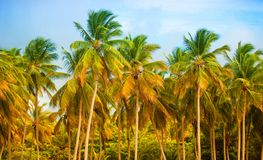 The tropical forest, palm trees on the beach background of palm trees. The tropical forest, palm trees on the beach background of palm trees Stock Image