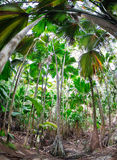 Tropical forest of palm trees, Seychelles. Tropical rain forest of palm trees; Valle de Mai, Praslin Island, Seychelles, Indian Ocean royalty free stock images