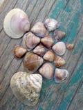 Beach  sea shells Stock Image
