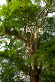 Tropical forest tree Royalty Free Stock Photography