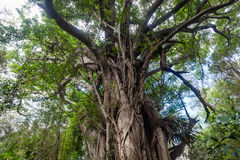 Tropical Forest Tree Detail Royalty Free Stock Photo