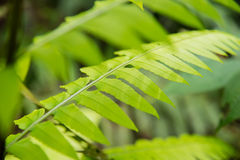 Tropical Forest Trees Close Up Leaves. Malaysia Templer Park Tropical Trees Royalty Free Stock Image