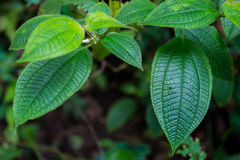 Tropical Forest Trees Close Up Leaves. Malaysia Templer Park Tropical Trees Stock Photo