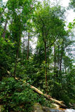 Tropical Forest Trees. Malaysia Templer Park of Tropical Trees Stock Photo