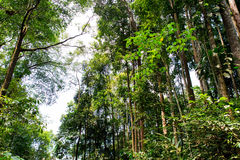 Tropical Forest Trees. Malaysia Templer Park of Tropical Trees Stock Photos