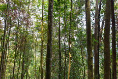 Tropical Forest Trees Royalty Free Stock Photography