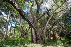 Tropical Forest Trees  Stock Photo