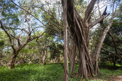 Tropical Forest Trees Reserve Stock Image