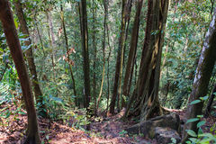 Tropical Forest Trees Roots Royalty Free Stock Photos