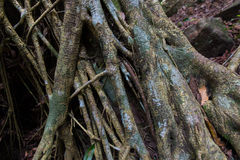 Tropical Forest Trees Roots Royalty Free Stock Images