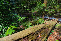 Tropical Forest Trees Texture. Malaysia Templer Park Tropical Trees Stock Photos